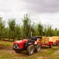 Збір урожаю яблук на Закарпатті